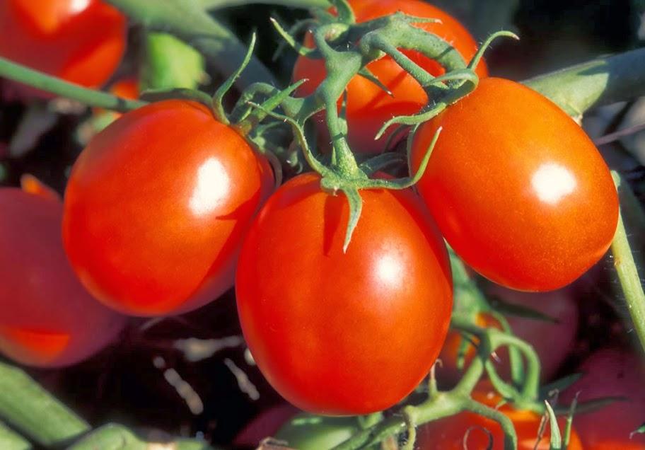 Новые сорта томатов на 2017 год