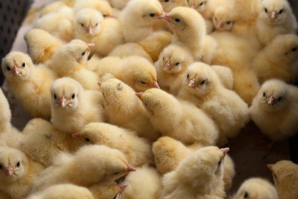 Цыпленок цыпленку рознь