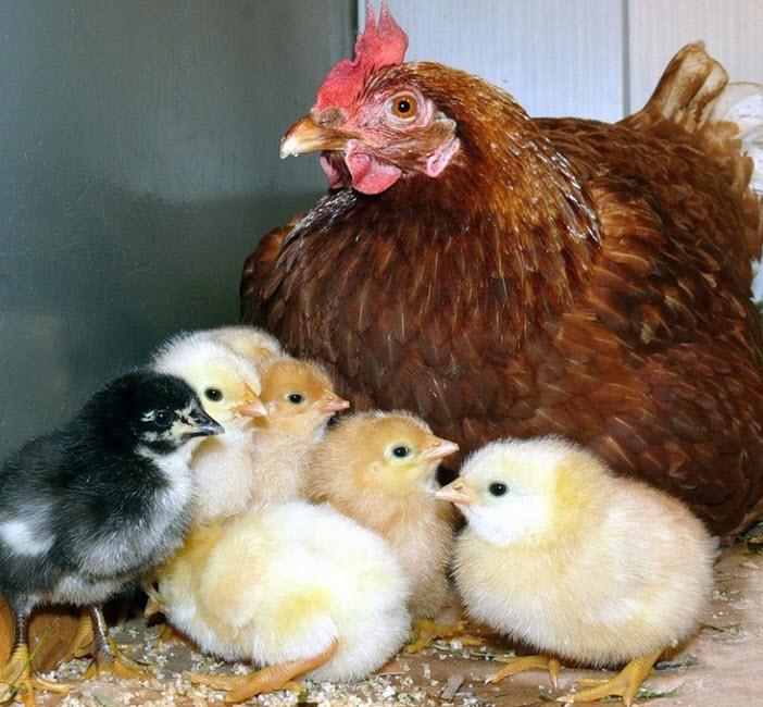 бройлерная курица с цыплятами