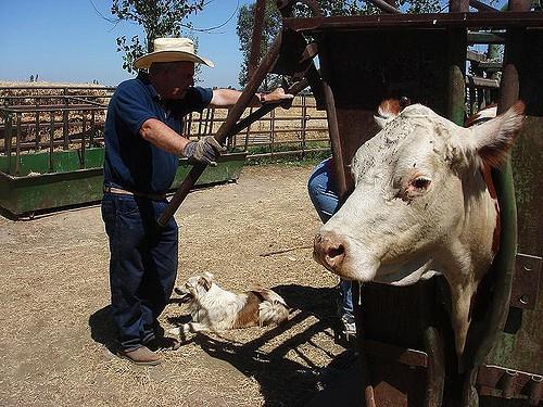 Неумелый прием родов у коровы
