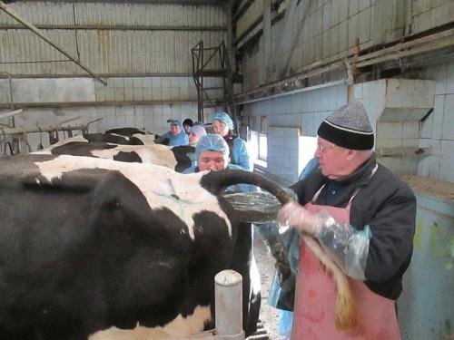 Если у коровы не вышел послед