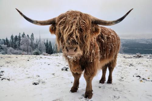 Шотладская корова хайленд