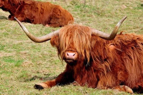 Корова хайленд