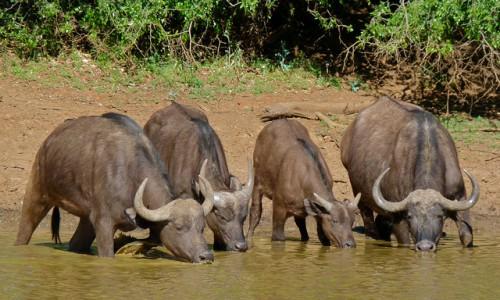 Африканские буйволы