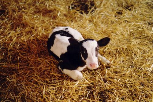 теленок на сене
