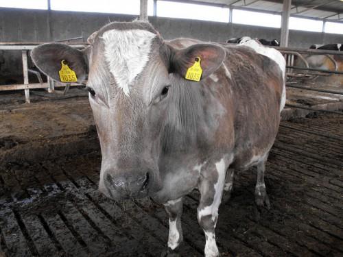 Кетоз у коровы