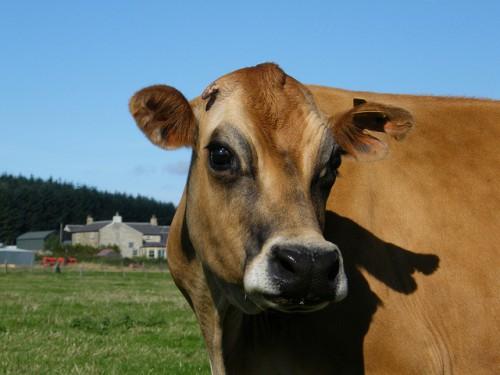 Рыжая корова - описание породы