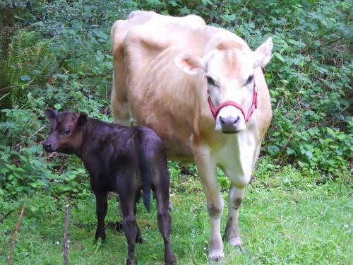 легкое, у коровы после отела нет молока что делать Ссылки Агентство