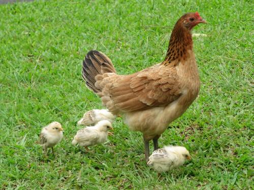 Выращивание цыплят  уход за цыплятами и кормление