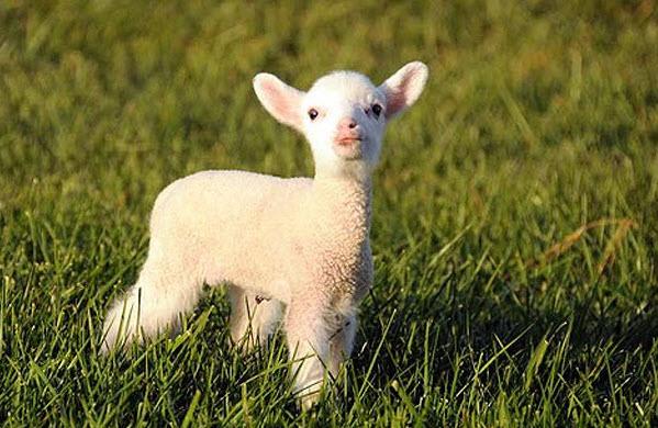 Как правильно случать овец