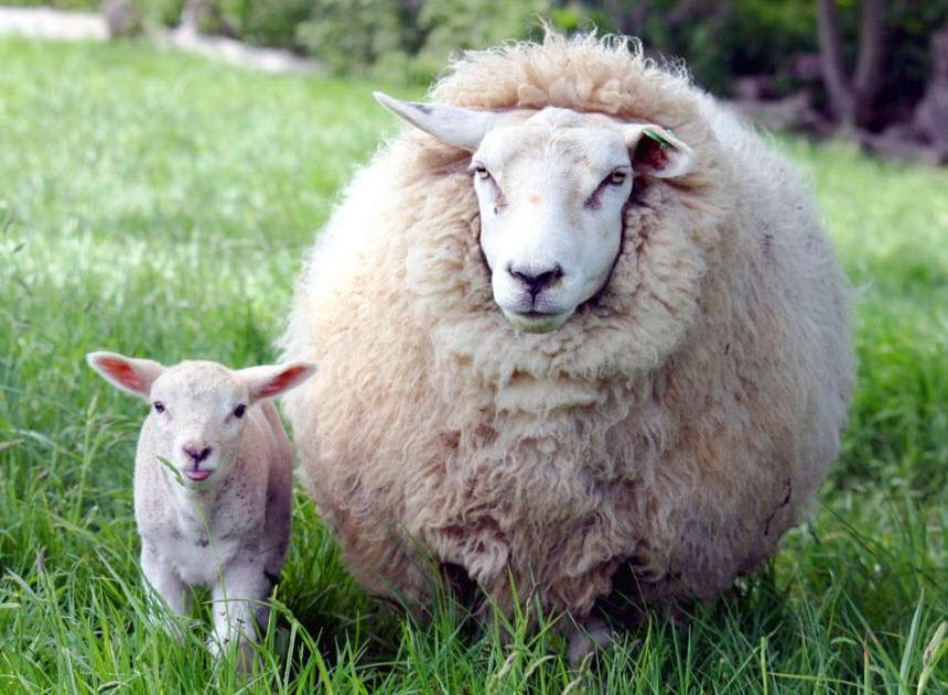 овца с ягненокм