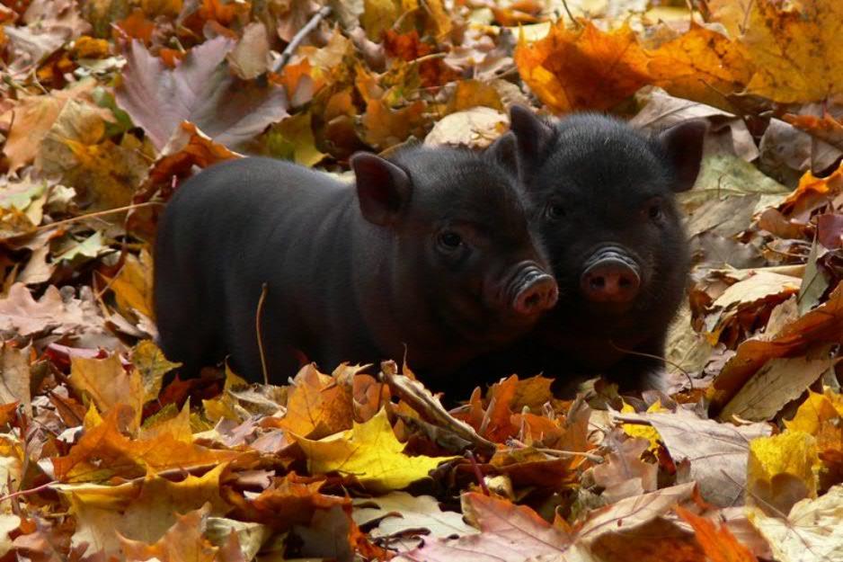 Чем кормить поросят вьетнамской вислоухой свиньи