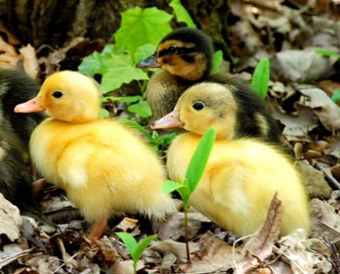 три гусенка