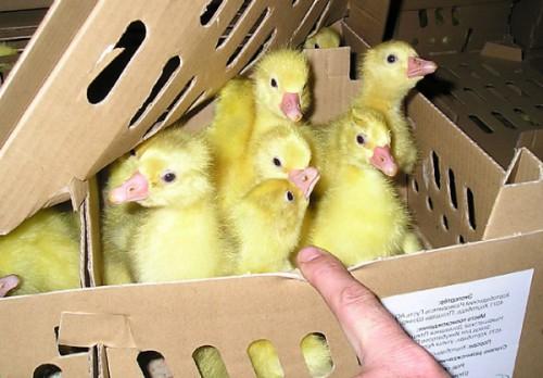 гусята в коробке