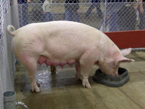 свинья ест
