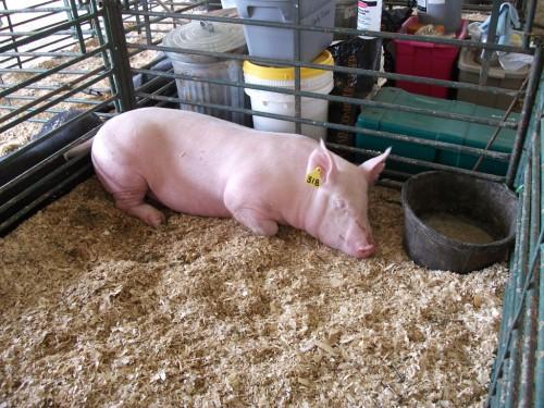 Применение добавок в питании свиней