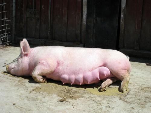 Искусственное оплодотворение свиньи