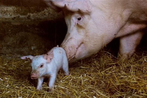 поросенок и свинья