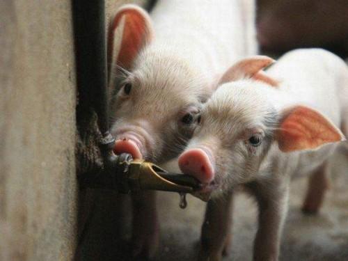 Как правильно поить свиней