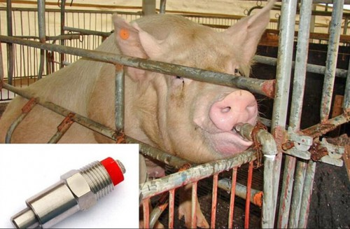 свинья пьет воду