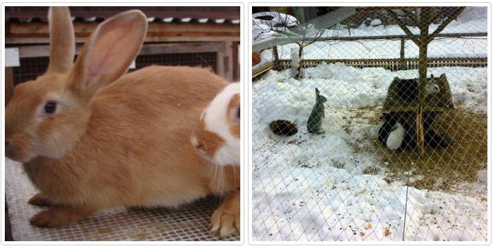 Как правильно содержать кроликов зимой