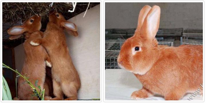 Калифорнийский красный кролик