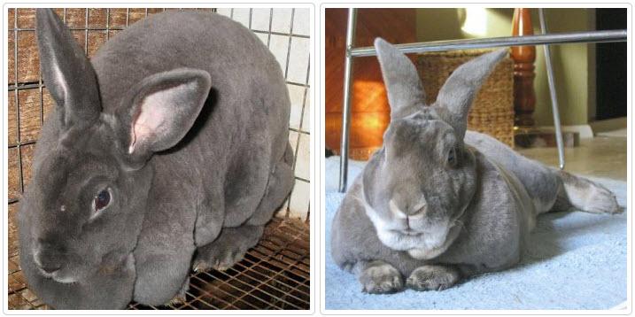 Серые кролики акселераты