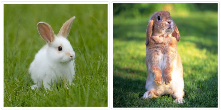 Почему кричит кролик