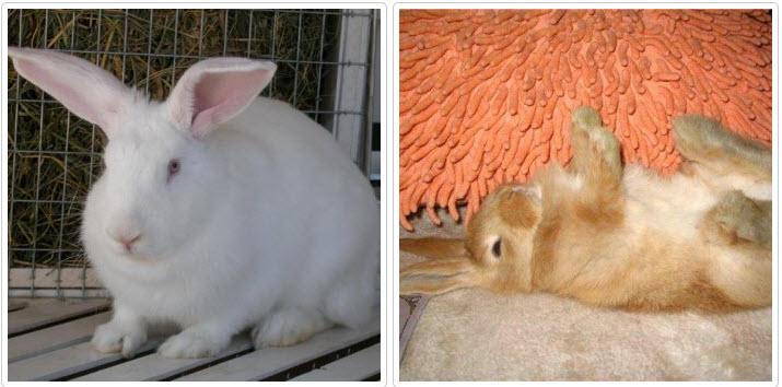 Кролик падает на бок: как помочь