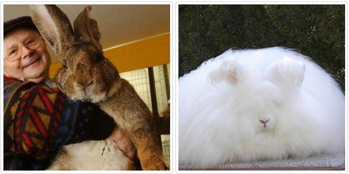 Как стать заводчиком кроликов