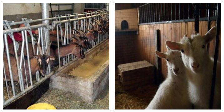 Как сделать стойло для козы