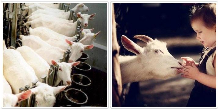 козы в стойле