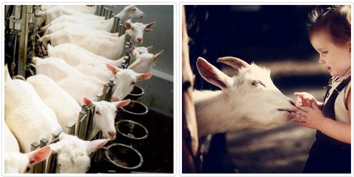 Как соорудить стойло для козы самостоятельно