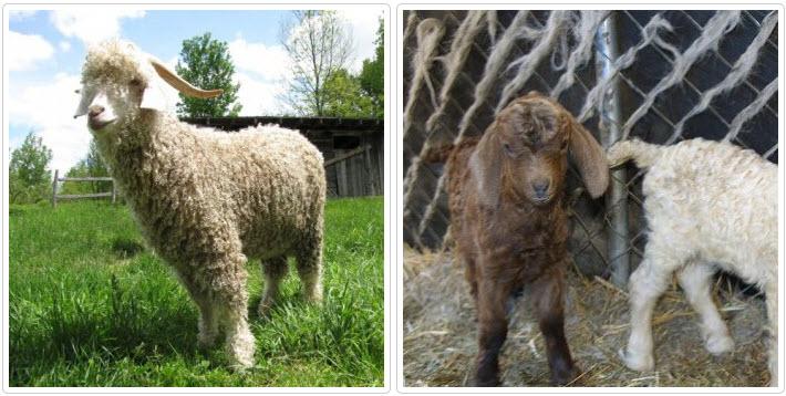 ангорская порода козы