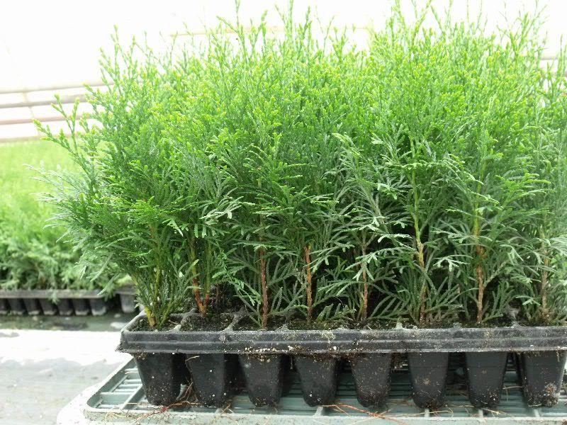 Выращивание туи из черенка 52