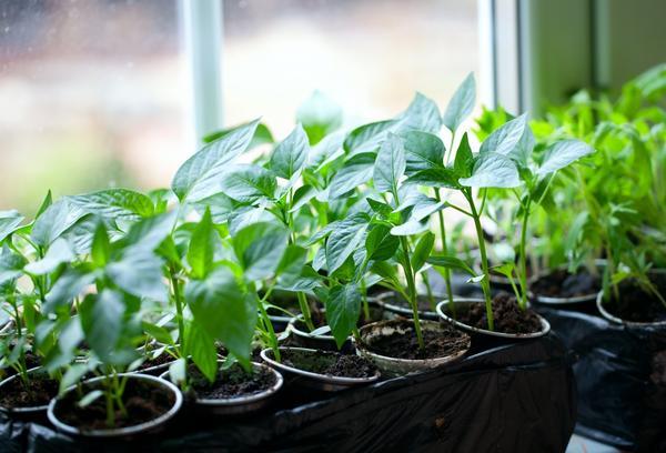 Когда сеять овощи на рассаду