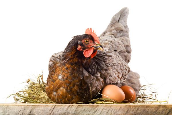 курица несется