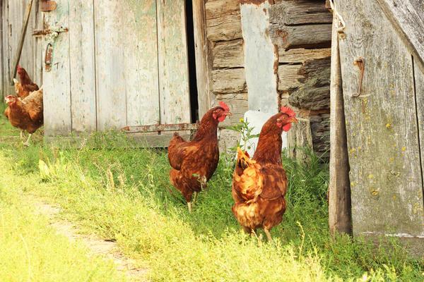 курицы идут в курятник