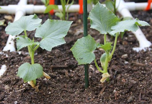Чем подкормить огурцы для роста народными средствами