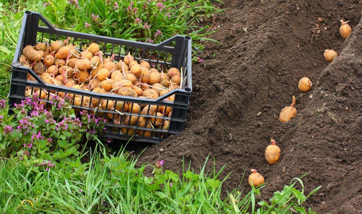 Оптимальная температура почвы для посадки картофеля весной