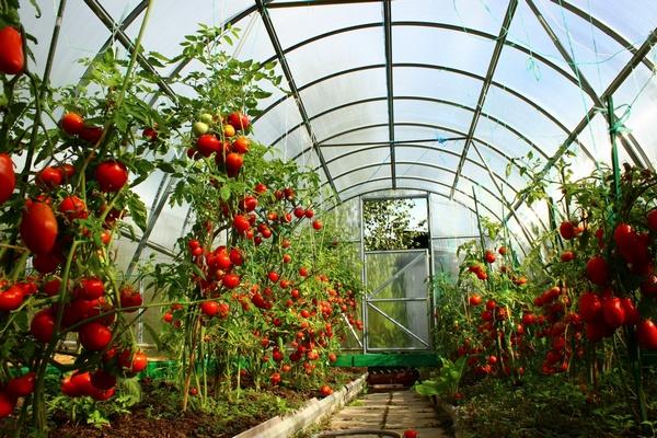 Сорта помидор для Сибирского климата