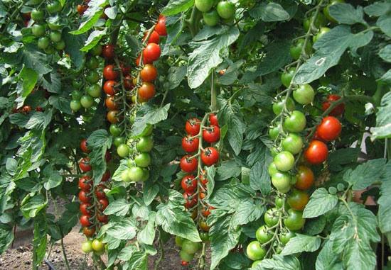 помидоры для выращивания в сибири