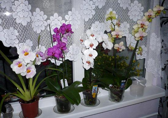 Уход за орхидеями на подоконнике