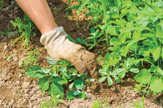 Как побороть сорняк