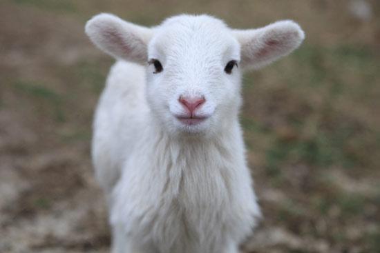 Случка овец: рекомендации опытных фермеров