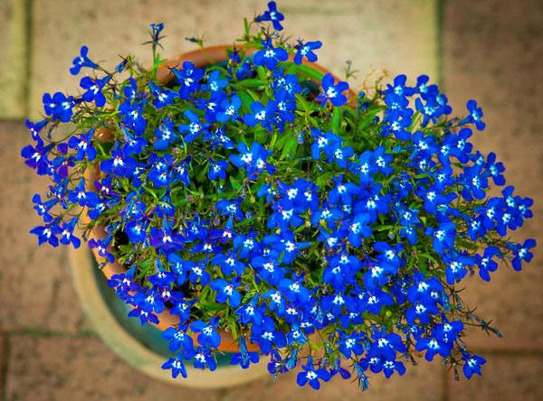 Необыкновенный синий цвет лобелии
