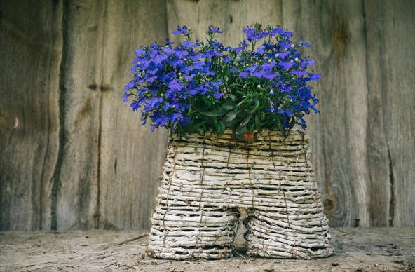 Лобелия - выращивание, уход