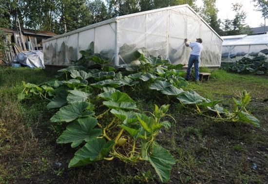 Как посадить и вырастить тыкву