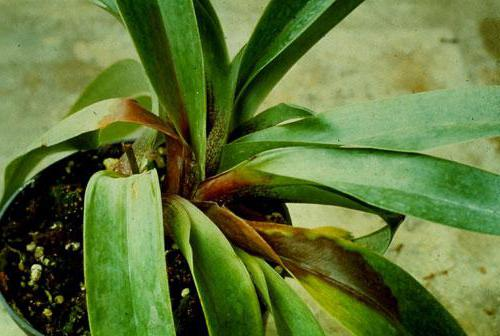 Как бороться с мошками на орхидее
