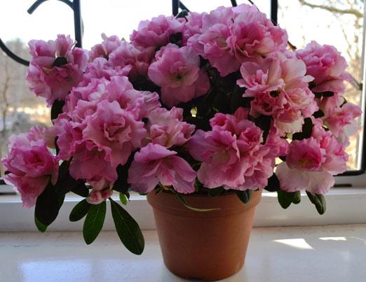 Почему не цветет азалия